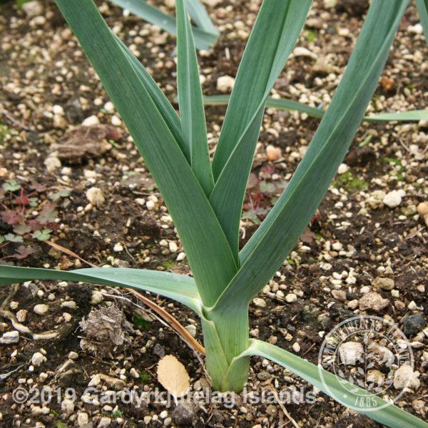 Allium porrum-Blaðlaukur