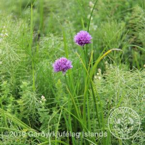Allium schoenophrasum-Graslaukur