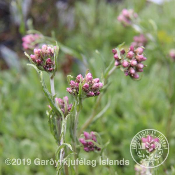 Antennaria dioica-Garðalójurt