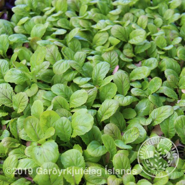 Brassica juncea var. japonica 'Mizuna'-Mizunakál (Sinnepskál)