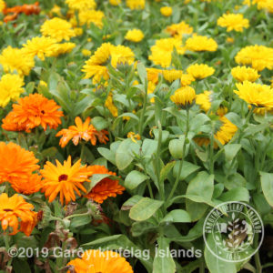 Calendula officinalis-Morgunfrú