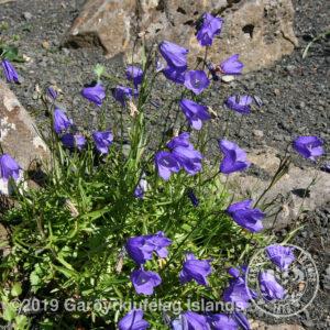 Campanula rotundifolia *-Bláklukka