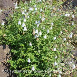 Codonopsis clematidea-Postulínsklukka / fýlukofri