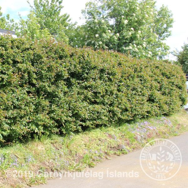 Cotoneaster lucidus-Gljámispill