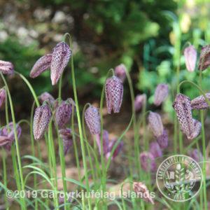 Fritillaria meleagris-Vepjulilja