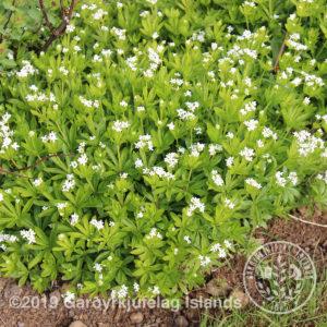 Galium odoratum-Anganmaðra