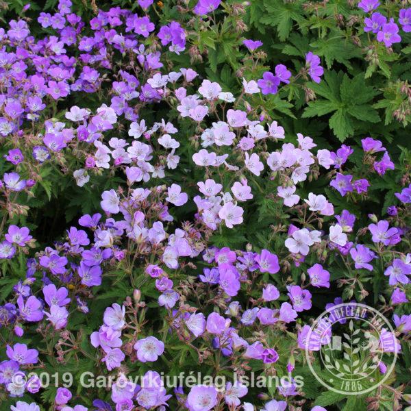 Geranium sylvaticum * -Blágresi