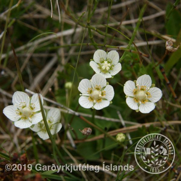 Parnassia palustris-Mýrarsóley