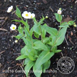 Ranunculus amplexicaulis-Slíðrasóley