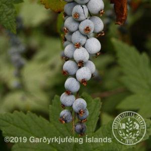 Ribes bracteosum-Blárifs