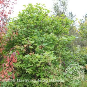 Viburnum opulus-Úlfaber