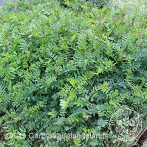 Vicia sepium -Giljaflækja