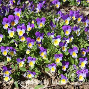 Viola tricolor -Þrenningarfjóla