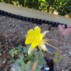 Aquilegia chrysantha 'Yellow Star' – Sunnuvatnsberi