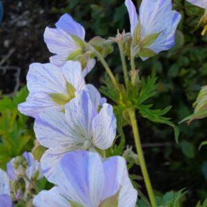 Geranium pratense 'Splish Splash' – Geranium pratense striatum