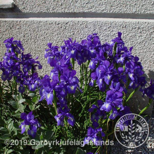 Iris setosa - Engjaíris