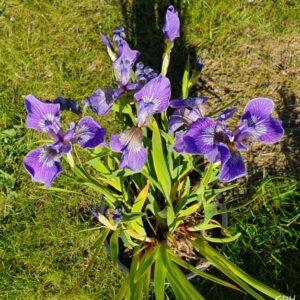 Iris setosa var. artica-Engjaíris var. artica