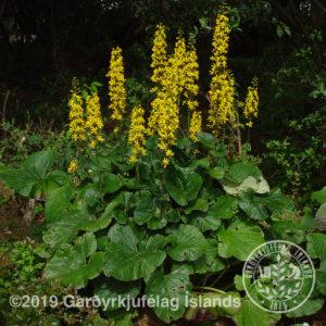 Ligularia wilsoniana - Skessuskjöldur