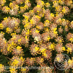 Anthyllis vulneraria * - Gullkollur *