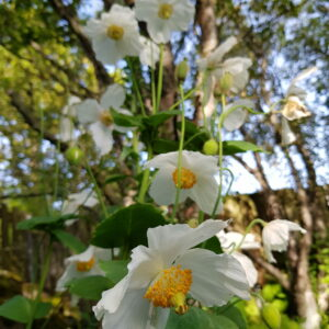 Meconopsis betonicifolia 'Alba' - Blásól, hvít
