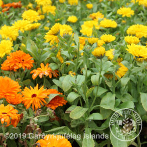 Calendula officinalis - Morgunfrú