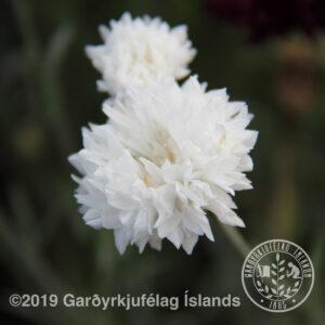 Centaurea, alba - Garðakornblóm, hvítt