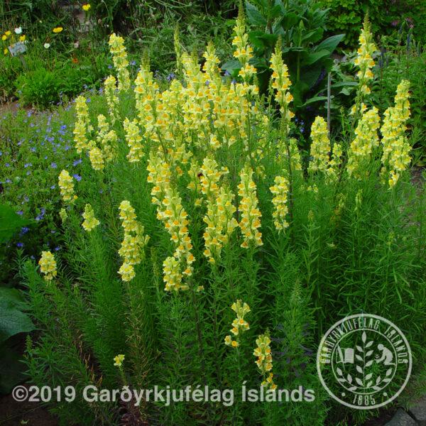 Linaria vulgaris - Gullgin