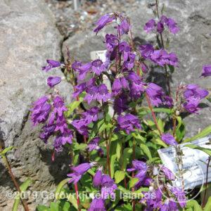 Penstemon whippleanus - Kampagríma