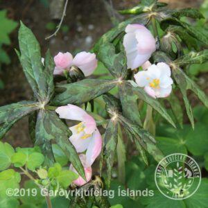 Podophyllum (emodi) hexandrum - Maíepli /smeðjuegg