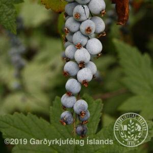 Ribes bracteosum - Blárifs
