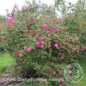 Rosa moyesii - Meyjarrós