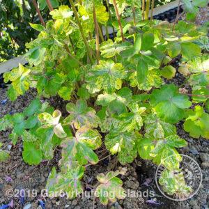 Aquilegia vulgaris 'Clematiflora' - Skógarvatnsberi