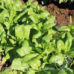 Spinacia oleracea 'Ricciod asti' - Spínat