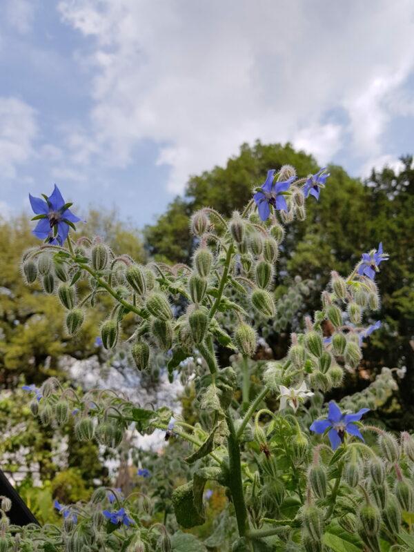 Borago officinalis - Hjólkróna