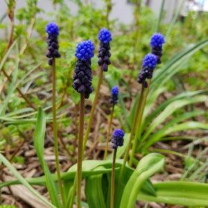 Muscari latifolium - Svartperlulilja