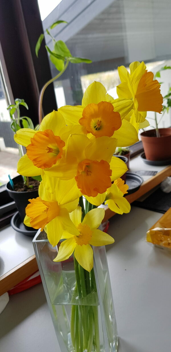 Narcissus pseudonarcissum - Páskalilja