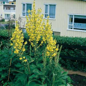 Verbascum olympicum - Ólympíukyndill