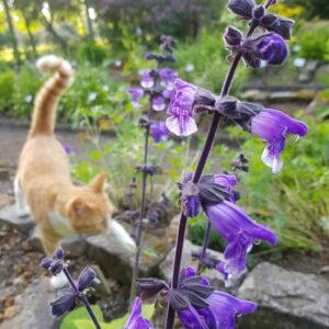 Salvia hians - Kasmirsalvia