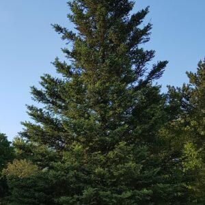 Picea sitchensis - Sitkagreni