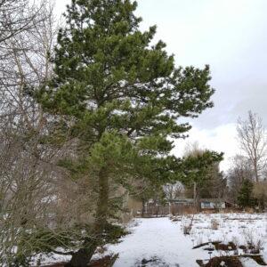 Pinus contorta var. latifolia - Stafafura